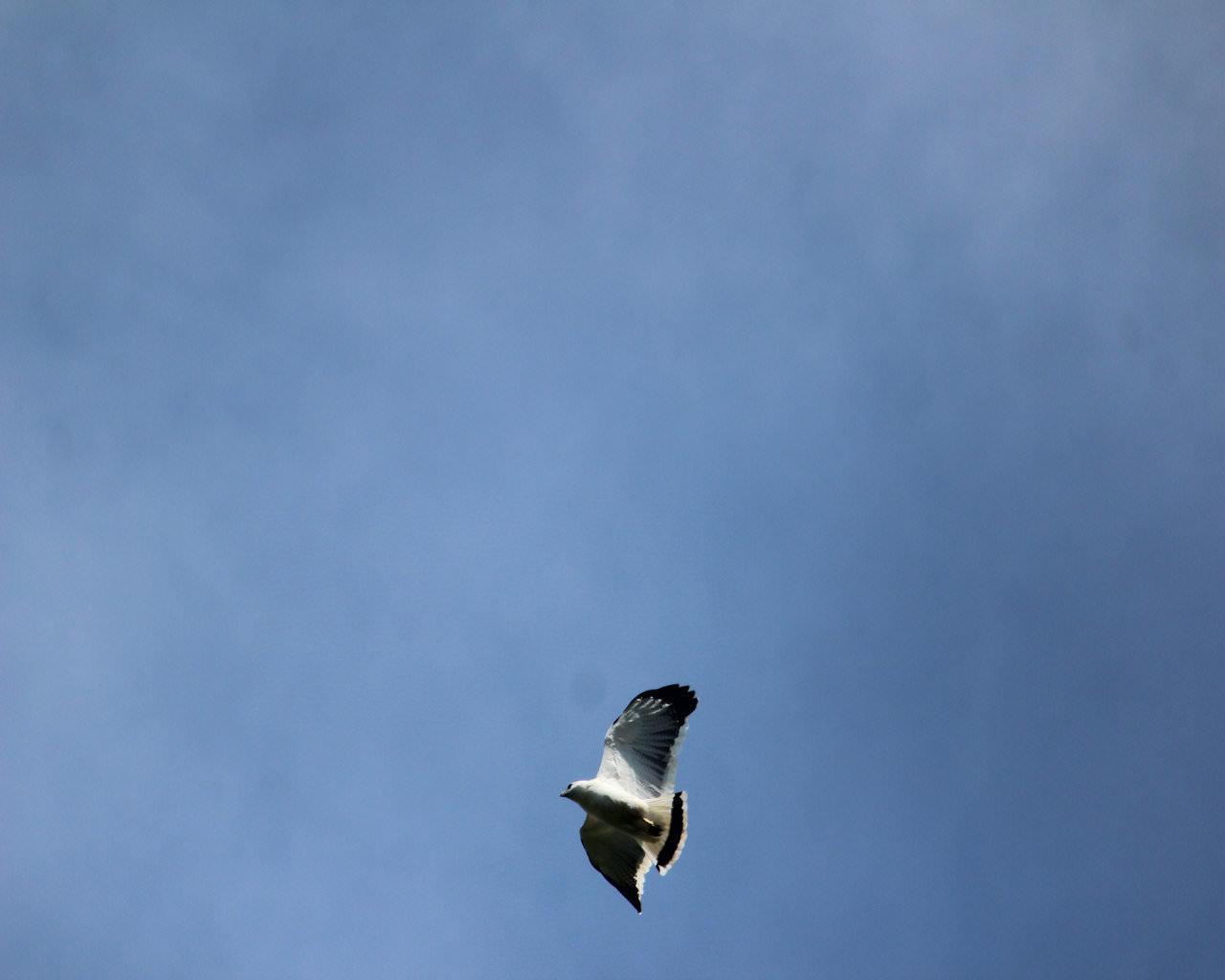 Black Tailed Hawk - Osa Birds