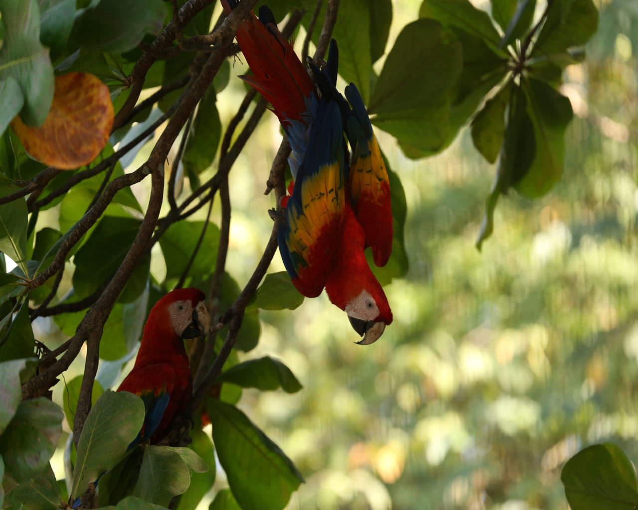 Scarlatt Macaws